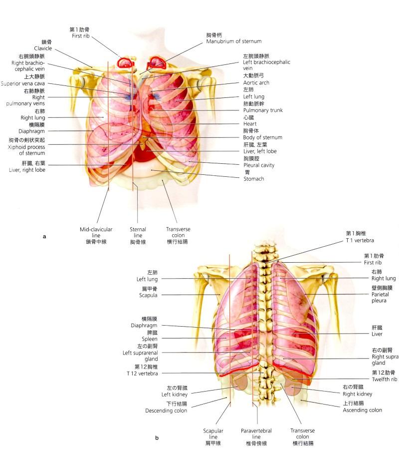 $心斎橋なんば|姿勢矯正・内臓整体・自律神経の調整で症状改善。 整体Re:Body!(リボディ)-肺 肩こり 内臓整体 姿勢矯正 自律神経